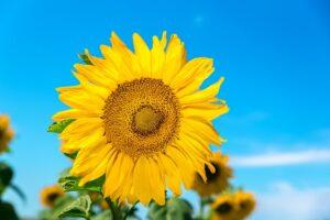 sunflower-gf51d987e3_640